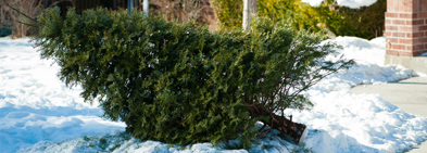 Learn more about the new process for Christmas tree collection.  image