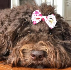 Dog with a hair bow